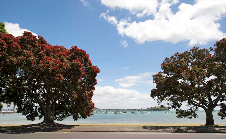 Pohutukawa-tree-Auckland