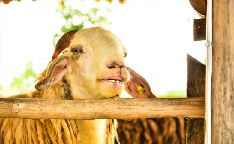 Sheep_in_FarmNapier_Hastings_North_Island